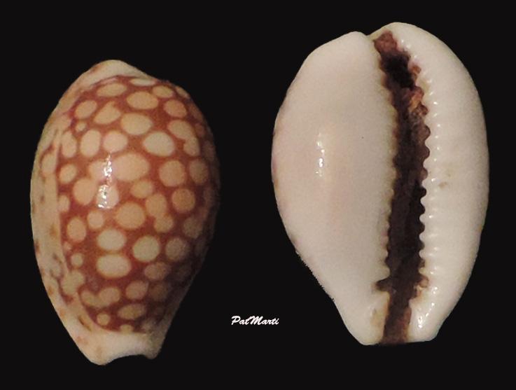Cribrarula toliaraensis - Bozzetti, 2007 voir Cribrarula cribraria comma (Perry, 1811) Cyp-to10