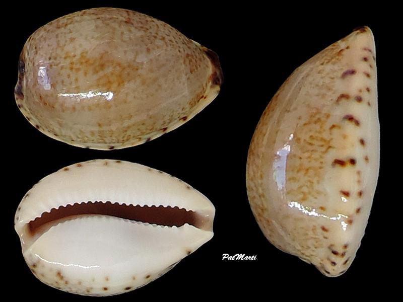 Notocypraea declivis dennyorum - Lorenz & Morrison, 2013 Cypra121
