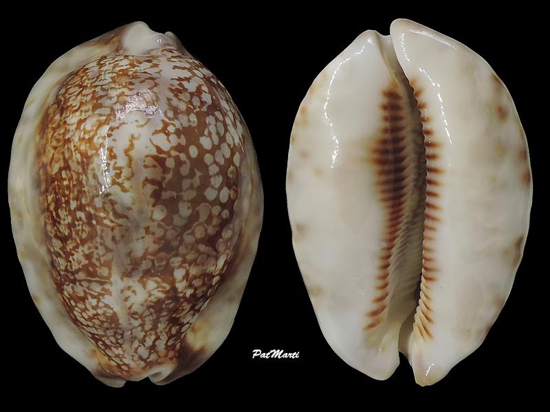Mauritia maculifera scindata - Lorenz, 2002 - Page 2 Cypra125