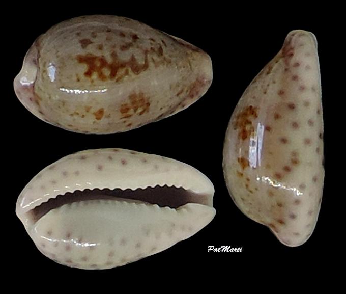 Zonaria sanguinolenta - (Gmelin, 1791) Cypra140