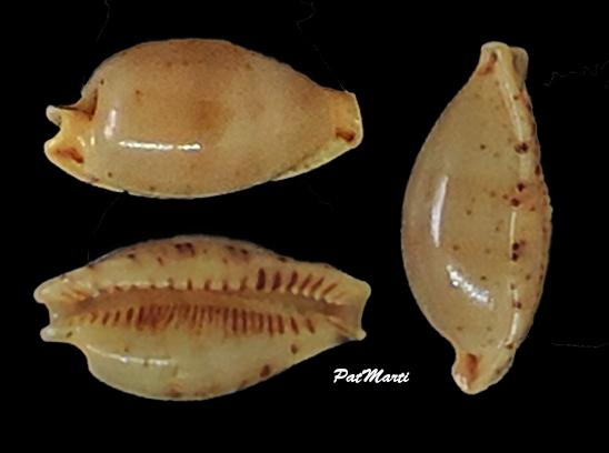 Ransoniella martini - (Schepman, 1907)  - Page 2 Cypra151