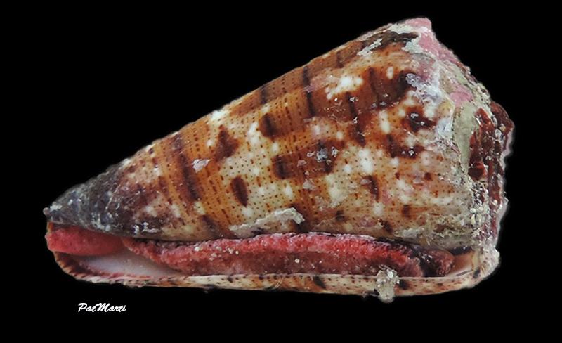 Conus (Stephanoconus) pseudimperialis  Moolenbeek Zandbergen Bouchet, 2008 - Page 3 Cypra159