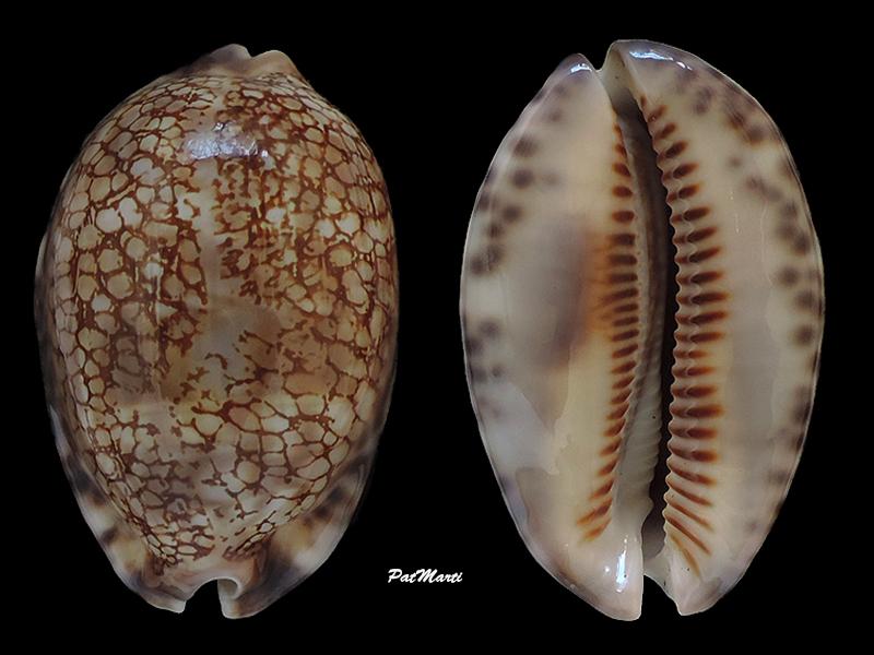 Mauritia maculifera scindata - Lorenz, 2002 - Page 2 Cypra166
