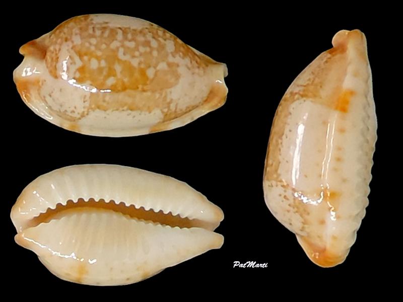 Bistolida stolida kwajaleinensis - (Martin & Senders, 1983) Cypra190