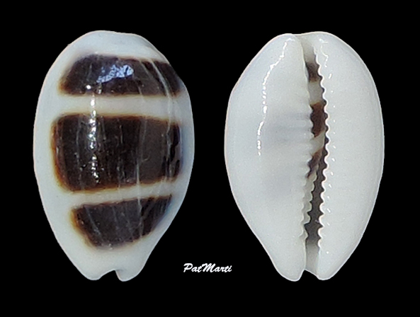 Palmadusta asellus bitaeniata - (Geret, 1903) voir Palmadusta asellus asellus - (Linnaeus, 1758) Cypra207
