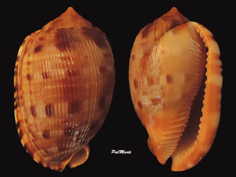 Cypraecassis testiculus - (Linnaeus, 1758) - Page 2 Cyprae15