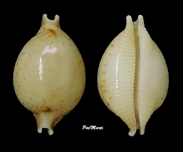 Pustularia cicercula tricornis - (Jousseaume, 1874) Cyprae37