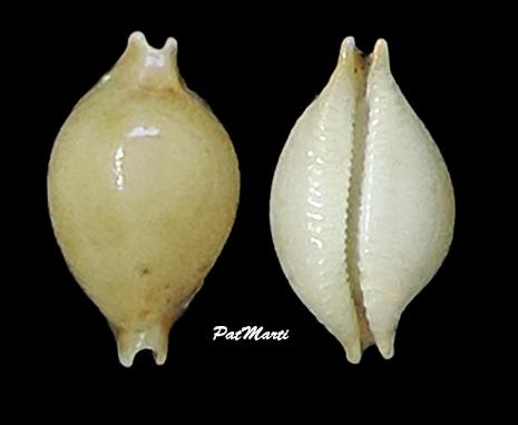 Pustularia margarita var africana - (Lorenz & Hubert, 1993) Cyprae38