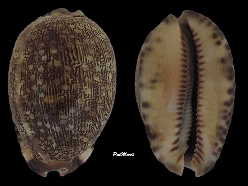Mauritia arabica - (Linnaeus, 1758)  - Page 2 Cyprae52