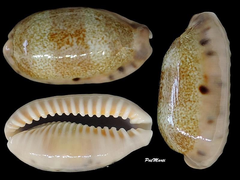 Erronea caurica longior - Iredale, 1935  voir Erronea caurica caurica (Linnaeus, 1758)  Cyprae66