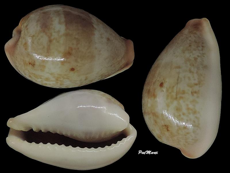 Erronea subviridis - (Reeve, 1835)  - Page 3 Cyprae90