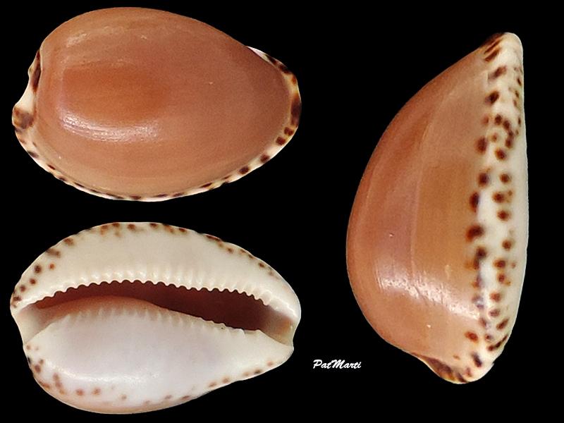 Notocypraea angustata - (Gmelin, 1791) Cyprae99