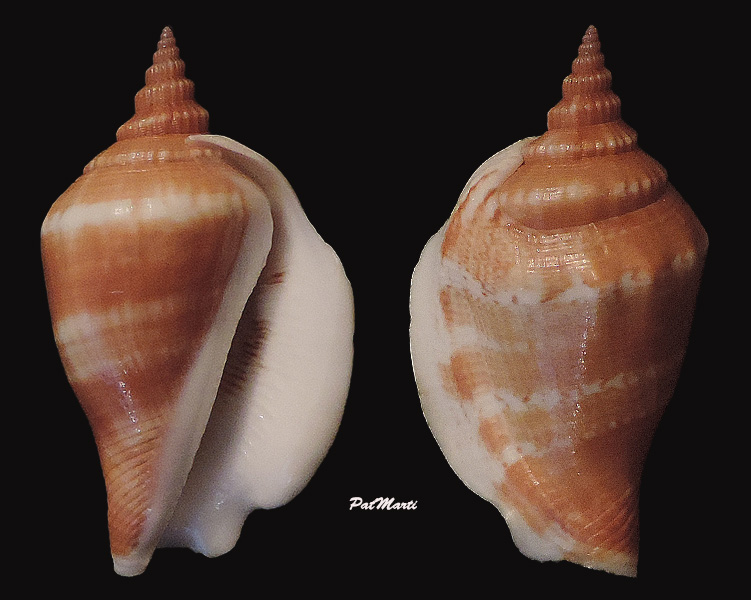Dolomena dilatata orosminus - (Duclos, 1844)  Dolome10
