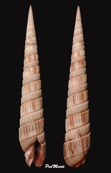 Duplicaria duplicata - (Linnaeus, 1758) Duplic10