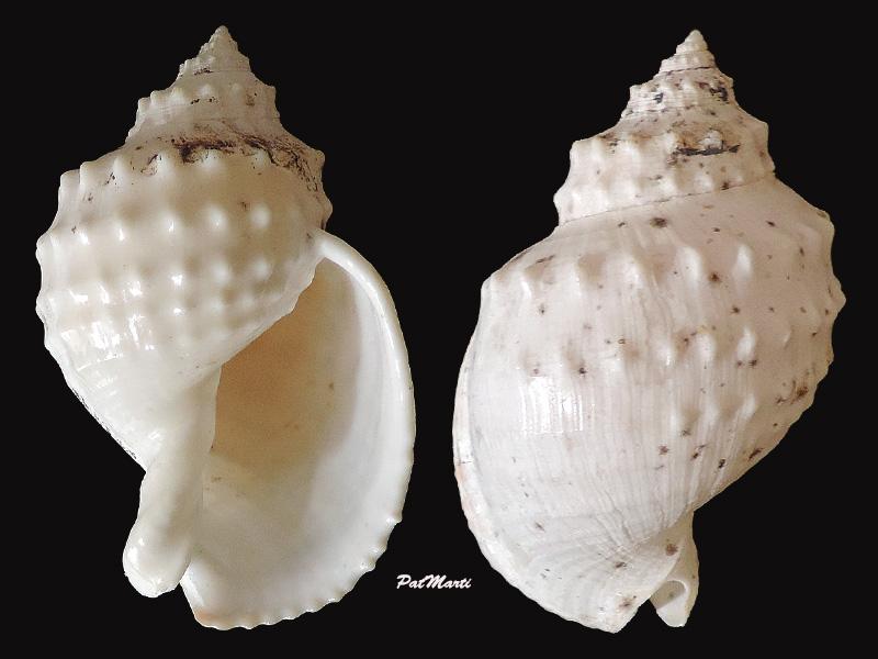 Echinophoria kurodai - (Abbott, 1968)  Echino10