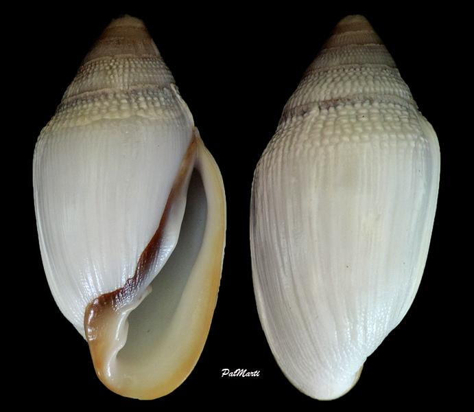 Ellobium aurismidae (Linné, 1758) Ellobi10