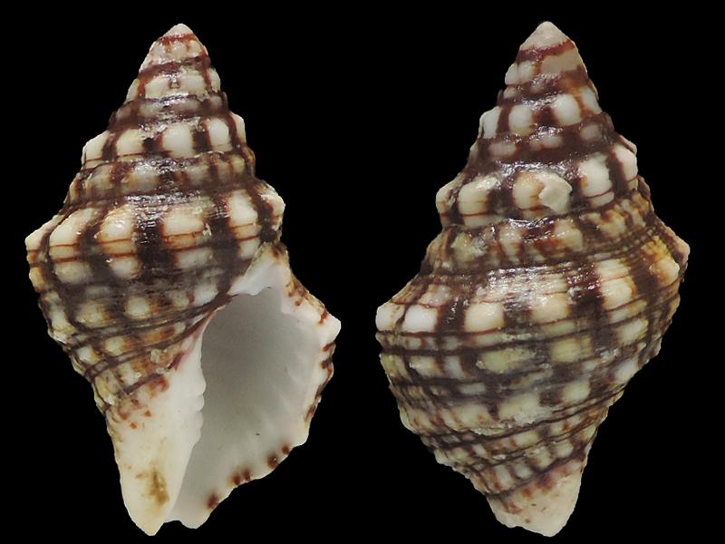 Leucozonia ocellata - (Gmelin, 1791) Fascio10