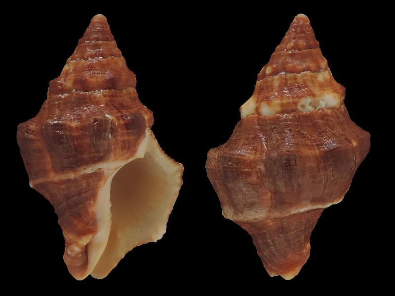 Leucozonia nassa - (Gmelin, 1791) Fascio11