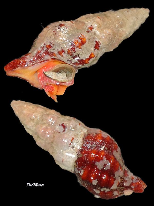 Turrilatirus sanguifluus - (Reeve, 1847) Fascio12
