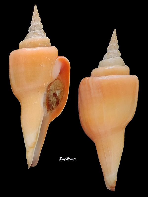 Fusinus serotinus - (Hinds, 1843) Fascio13