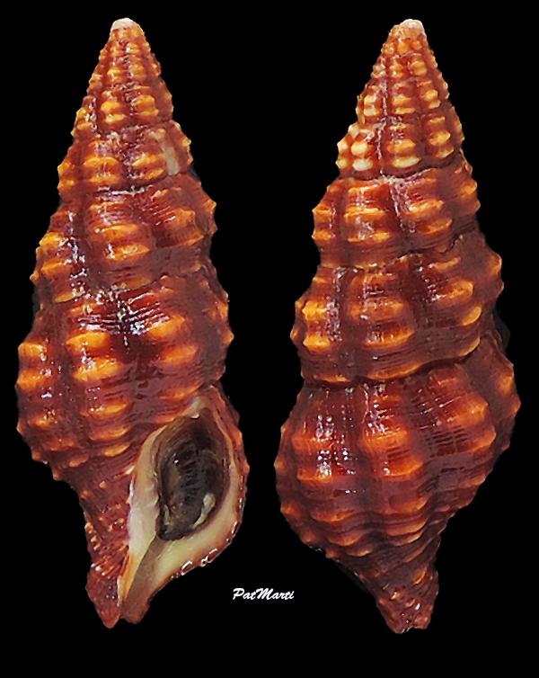 Turrilatirus sanguifluus - (Reeve, 1847) Fascio14