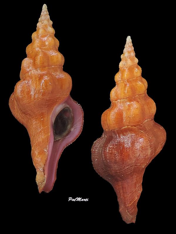 Nodolatirus nodatus - (Gmelin, 1791)  Fascio15