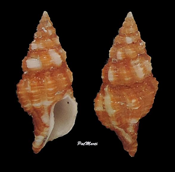 Latirus maculatus - (Reeve, 1847) Fascio16