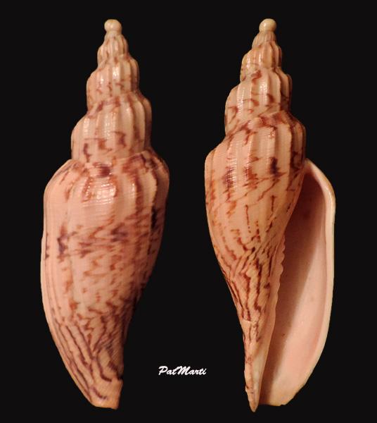 Fulgoraria hamillei - (Crosse, 1869) Fulgor10