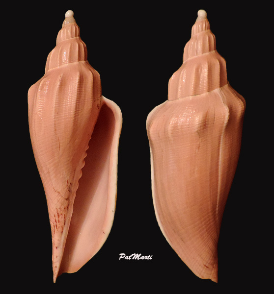 Fulgoraria rupestris f. aurantia - Shikama & Kosuge, 1970 voir Fulgoraria rupestris - (Gmelin, 1791)  Fulgor11