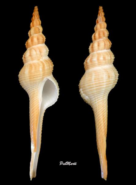 Fusinus novaehollandiae - (Reeve, 1848) Fusinu10