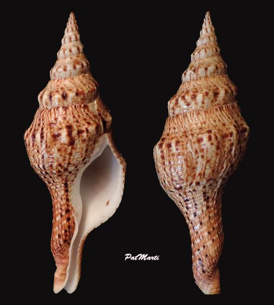 Fusinus brianoi - Bozzetti, 2006 Fusinu11