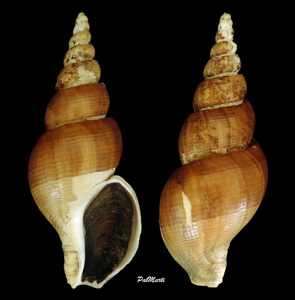 Japelion adelphicus - (Dall, 1907)  Japeli10