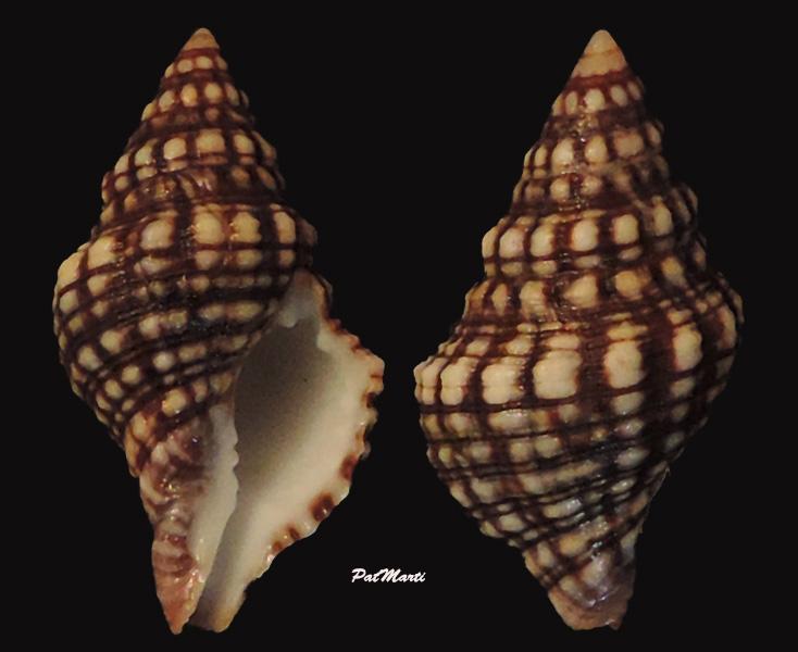 Leucozonia ocellata - (Gmelin, 1791) Leucoz11