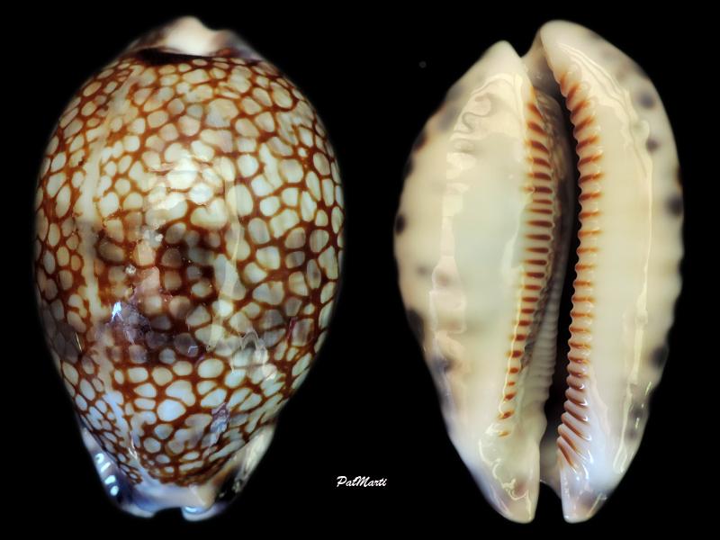 Mauritia histrio f. westralis - (Iredale, 1935) Maurit10