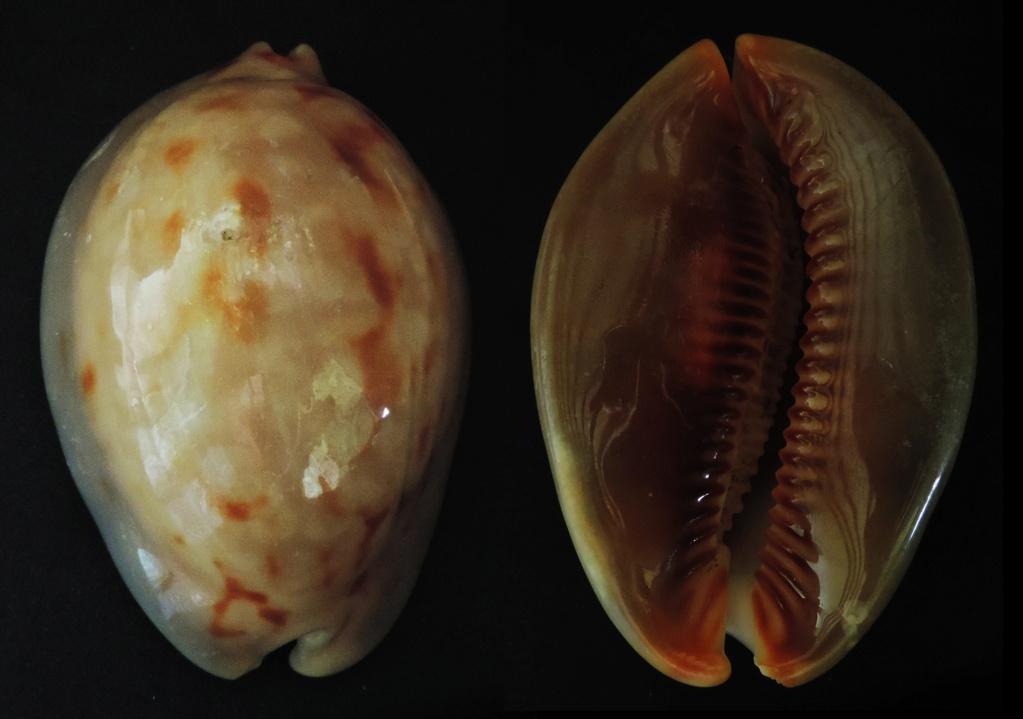 Mauritia mauritiana albiflora - (Petrbok, 1932)  Maurti10
