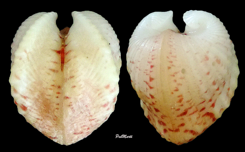 Meiocardia moltkiana - (Gmelin, 1791) Meioca10
