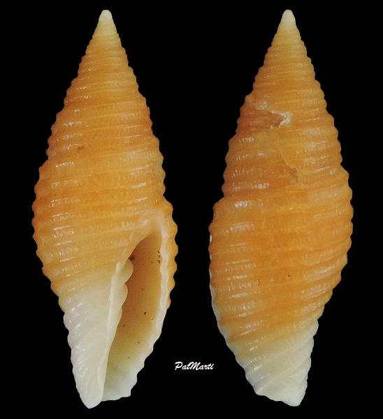 Pseudonebularia cingulata - (A. Adams, 1853) Mitra-12
