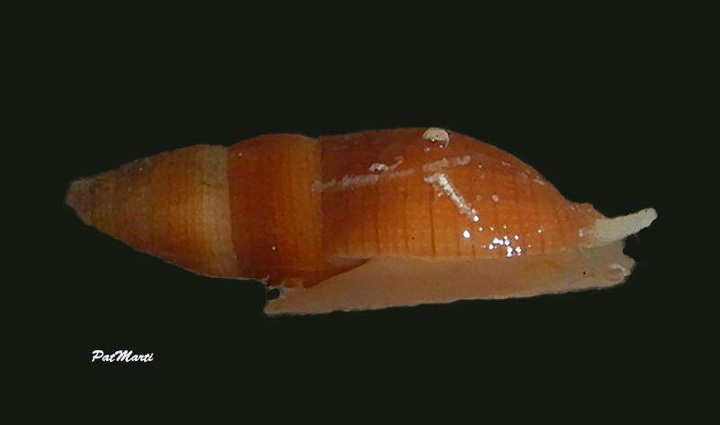 Nebularia pellisserpentis - (Reeve, 1844)  Mitrid15