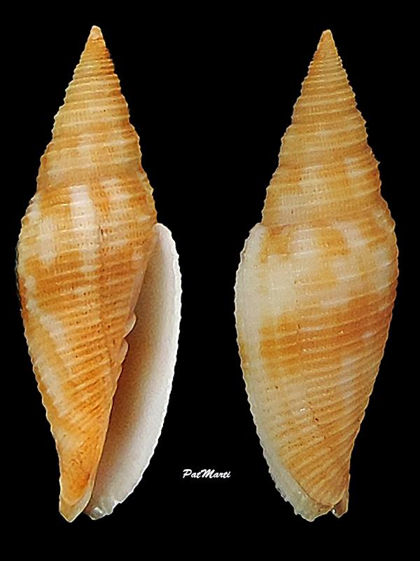 Imbricaria zetema - (Dekkers, Herrmann, Poppe & Tagaro, 2014) Mitrid19