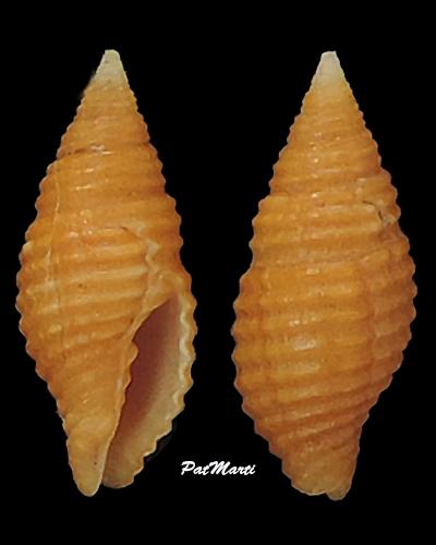 Pseudonebularia tornata - (Reeve, 1845) Mitrid20
