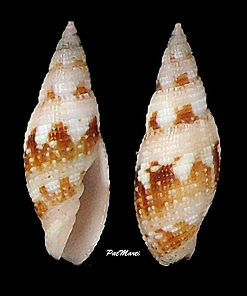 Neocancilla maculosa - (Gmelin, 1791) Mitrid22