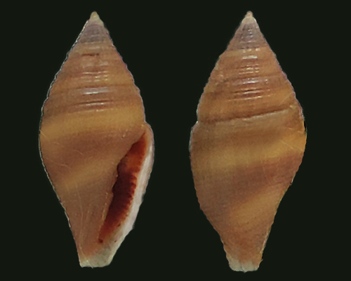 Mitromorphidae - Mitromorpha philippinensis Mifsud, 2001 Mitrom10