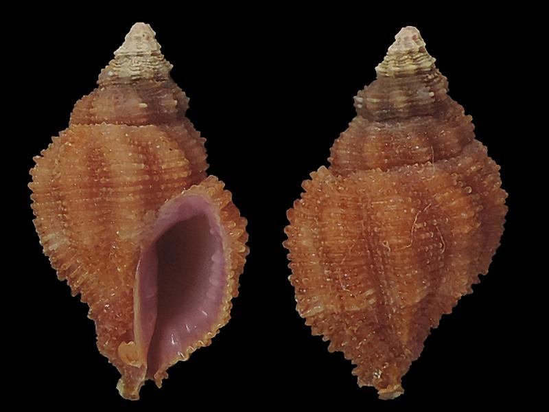Morula porphyrostoma - (Reeve, 1846) Murici12