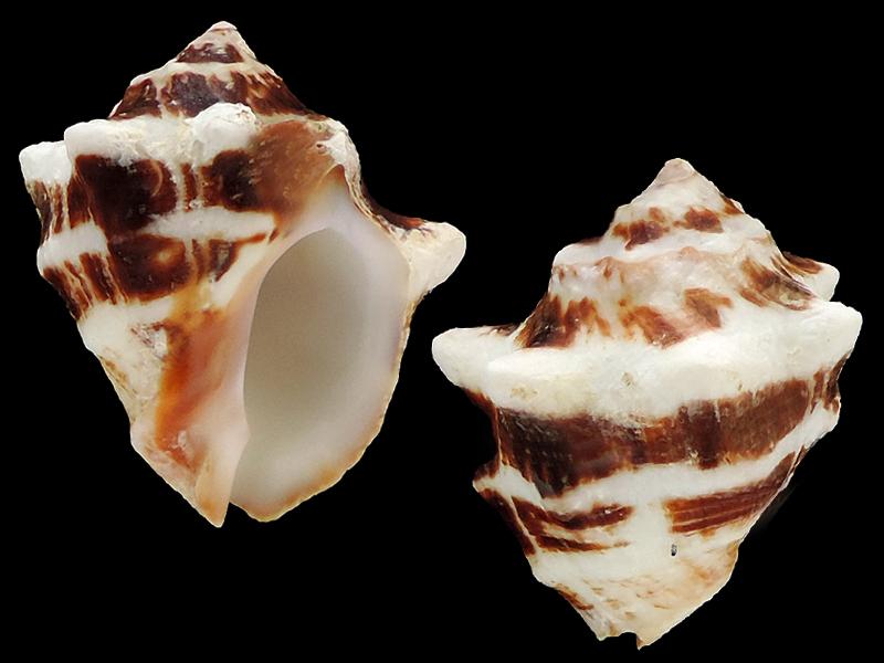 Vasula deltoidea - (Lamarck, 1822) Murici13