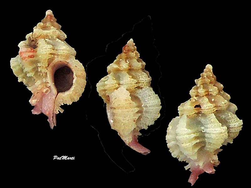 Favartia salmonea - (Melvill & Standen, 1899) Murici22