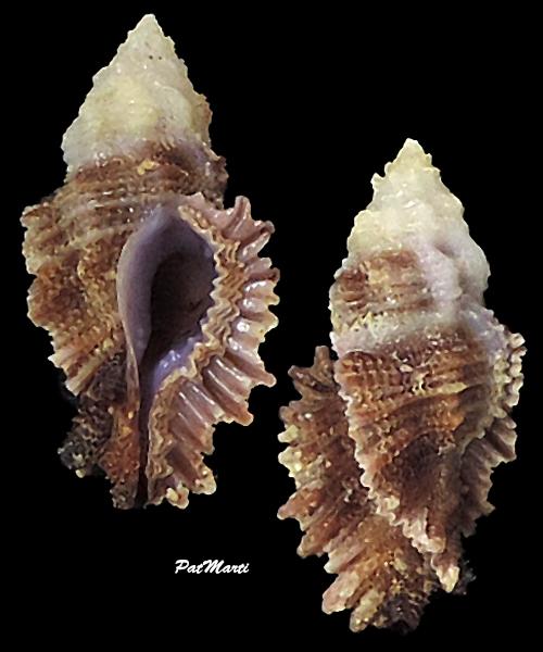 Pterynotus barclayanus - (H. Adams, 1873) Murici24