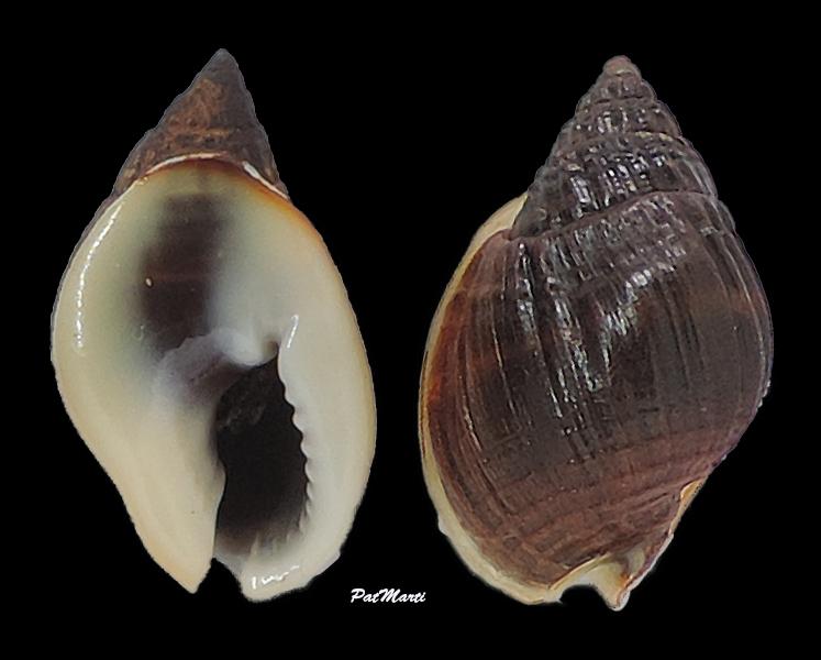 Nassarius pullus  (Linnaeus, 1758) Nassar16