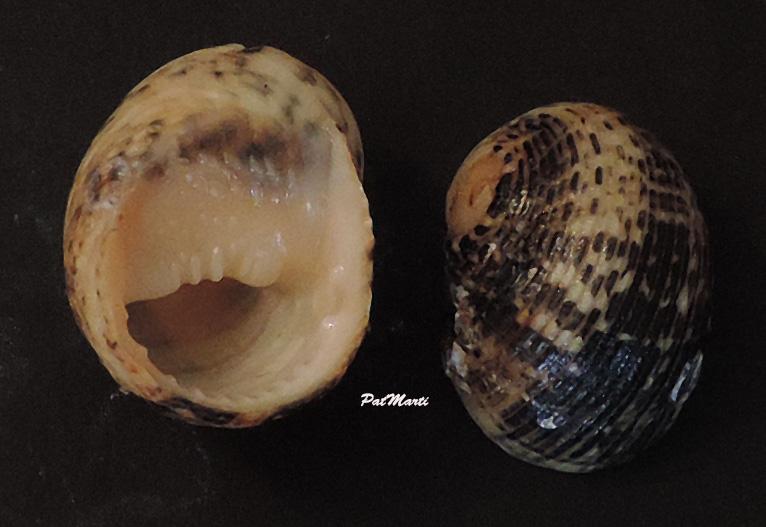 Nerita fulgurans - Gmelin, 1791 Nerita10