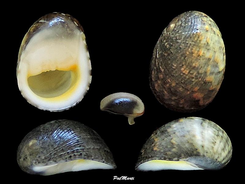 Nerita erythrostoma et Nerita vitiensis Neriti16