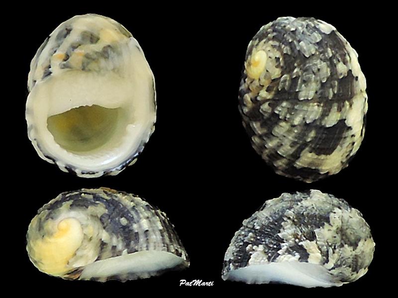 Nerita histrio - Linnaeus, 1758 Neriti17
